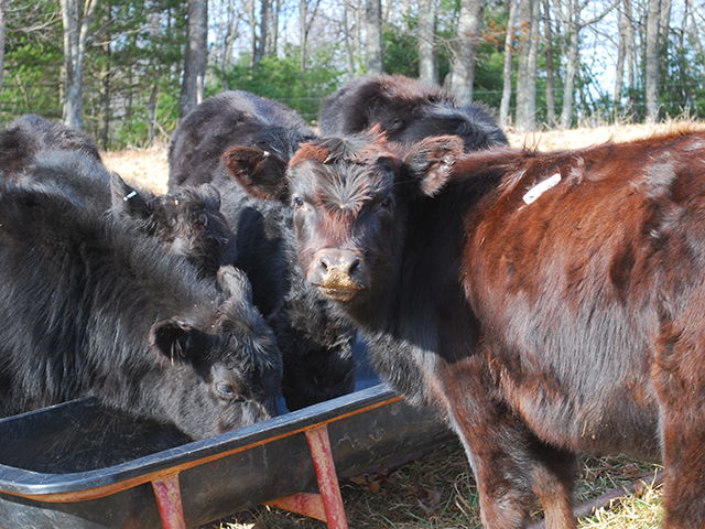 A new way to value feeder calves, aims at bringing more premiums to Angus-based herds.(DTN/Progressive Farmer photo by Boyd Kidwell)