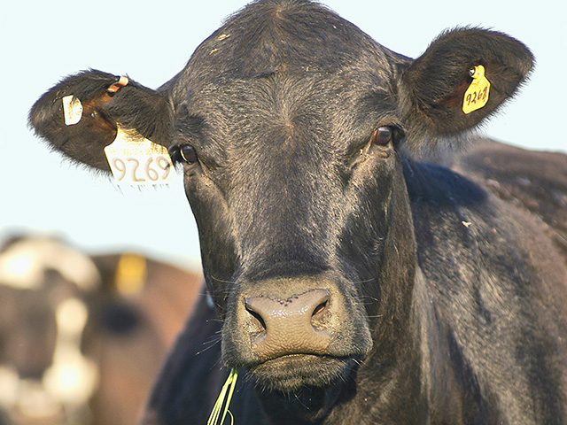 If cattle don't get enough long-stem fiber, cud chewing is reduced. (Progressive Farmer image by Gregg Hillyer)
