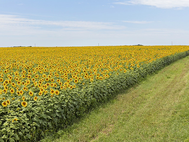 North Dakota farmer Rocky Bateman learned that corn is the best crop to follow sunflowers in a diversified crop rotation. (DTN/The Progressive Farmer photo by David L. Hansen)
