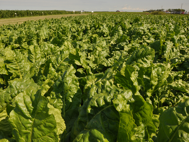 "U.S. sugar beet growers were less satisfied with an ""agreement in principle"" to settle the U.S.-Mexican sugar dispute than U.S. cane refiners and cane growers. (DTN file photo by Greg Horstmeier)"