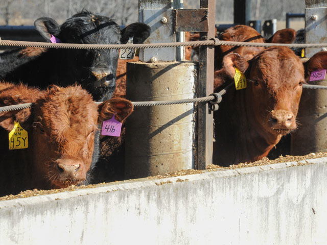 Feedlot cattle fed Enogen Feed hybrids saw their digestibility increase to around 65% to 70%, according to a UNL beef feedlot Extension specialist. (DTN photo by Pamela Smith)