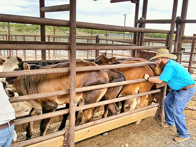 Livestock inspectors manually check cattle for fever ticks prior to treatment. (Photo courtesy Texas Animal Health Commission)