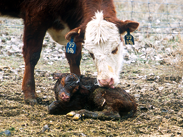 Spring calving season promises to keep ranchers busy, and maybe a little sleep deprived, in the coming months. (Photo courtesy of USDA Agricultural Research Service)