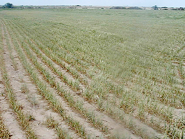 La Nina conditions could extend the Southern Plain's drought and affect a struggling winter wheat crop. (Photo courtesy KSU)