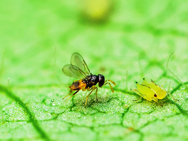 A parasitic wasp approaches an unsuspecting soybean aphid, which will soon become a host for the wasp's eggs. (Photo courtesy Matt Kaiser)