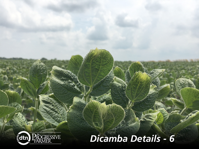 These puckered-up soybeans are characteristic of dicamba injury. Volatility is one of the several ways new formulations can move off-target. (DTN photo by Pamela Smith)