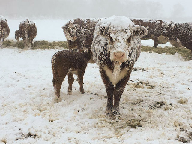 Cattle endure snow and high winds during a spring blizzard that hit most of South Dakota on April 13. Cattle losses from the storm varied across the state, and more losses could be discovered as the snow melts. (Photo courtesy of Sarah Myers, Winner, South Dakota)