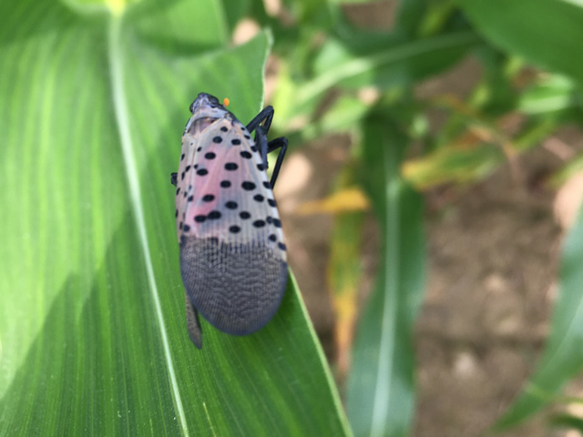 The invasive spotted lanternfly has been found in Pennsylvania on alfalfa, soybeans and corn, shown above. Midwest growers should keep an eye out for it this year. (Photo courtesy of Pennsylvania Department of Agriculture)