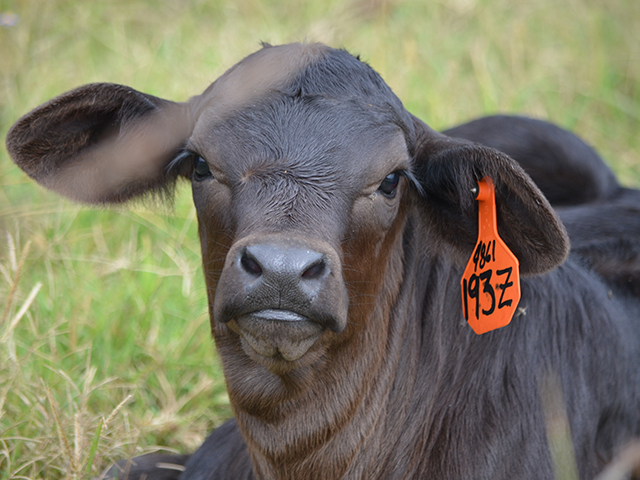 A shift to banding calves has this producer asking about vaccinations.(DTN/Progressive Farmer photo by Dan Miller)