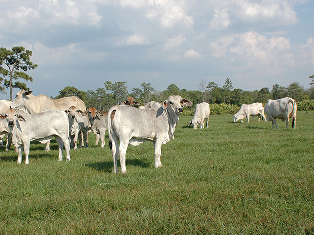 Genetics from Brahman cattle could help alter types and amounts of fat found in beef. (DTN/Progressive Farmer photo by Becky Mills)