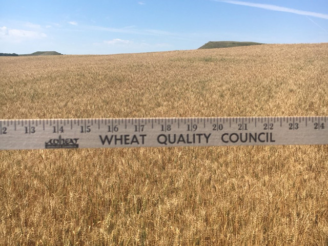 For the second day, scouts measured plants and counted wheat heads on the Wheat Quality Council's annual tour of the hard red spring wheat and durum crop in the Dakotas and Minnesota. (Photo courtesy Amanda Spoo, U.S. Wheat Associates)