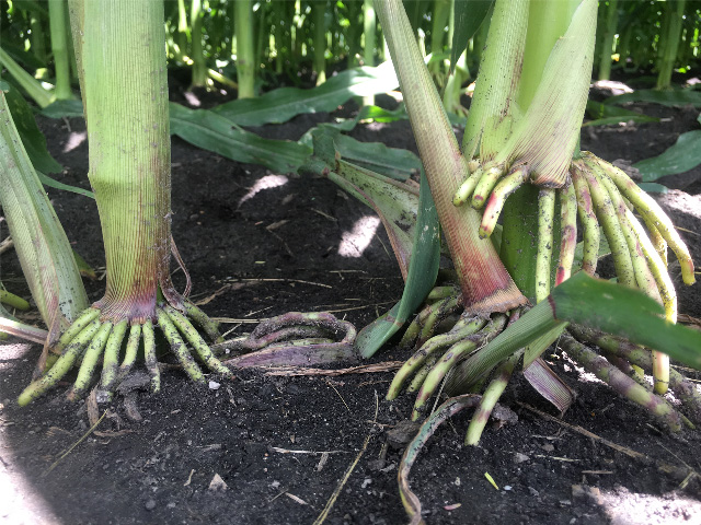 Many corn stalks will send extra roots from a node or nodes above the soil surface. The question of what they actually do for the plant is a question that has never been answered. (DTN photo by Pamela Smith)