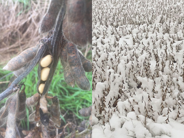 Dave Newby's crop (left) near Bondurant, Iowa shows rain's effects on soybeans, while harvest is delayed on Dave Blasey's field (right), in eastern North Dakota as his soybeans were buried under snow. (Photos courtesy of Dave Newby and Dave Blasey)