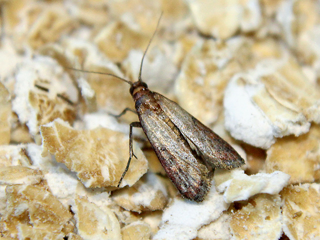 By the time you see the Indianmeal moth fluttering above your grain, they've been there awhile. (DTN/The Progressive Farmer photo by Scott Williams)
