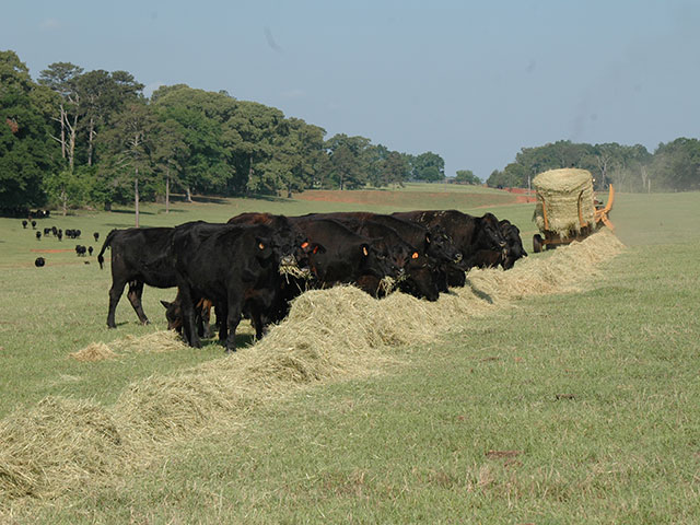 Forages and hay are never quite the same, which means depending on stage of life, or even the weather, a producer should always be adapting to the herd's nutritional needs. (DTN/Progressive Farmer photo by Becky Mills)