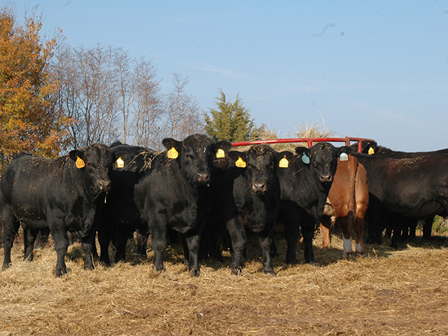 Quarantining new bulls, and consistently having breeding soundness exams done, are critical to herd production. (Progressive Farmer photo by Becky Mills)