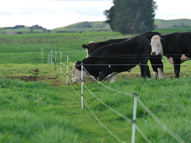 With a reputation built on high quality and safety, New Zealand's beef and dairy producers are making some tough decisions in an effort to eradicate Mycoplasma bovis from the nation's herd. (DTN/Progressive Farmer photo by Jim Patrico)