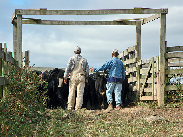 The way cattle are handled, especially while loading or unloading them from trailers, can take away from their value at the sale barn. (DTN/Progressive Farmer photo by Becky Mills)