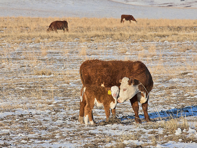 Wintry weather with lower temperatures during calving season, combined with less-than-ideal weather during the previous months, has put a damper on what is normally an exciting season for cattle producers. (Progressive Farmer file photo by Sam Wirzba)
