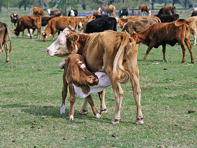 Teat and udder quality is a common reason given for culling a cow.(StockPhoto Agriculture)