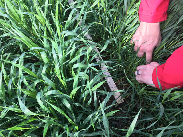 To estimate yield in pre-heading winter wheat fields, hard red winter wheat tour scouts count the number of developed stalks that are capable of producing a head. This year, the tour pegged Kansas wheat yield potential at 47.2 bushels per acre. (DTN photo by Emily Unglesbee)