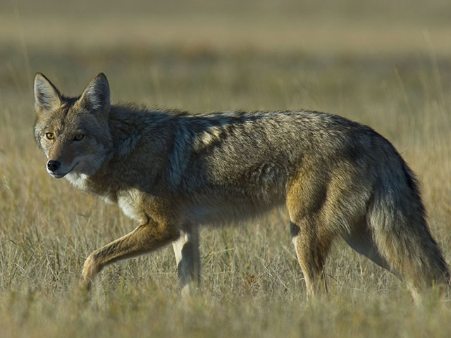 Coyotes or stray dogs may spread Neospora, a protozoan that causes abortions in cattle. (Getty Images stock photo)