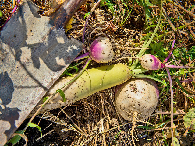 Radishes are a popular cover crop that are also good for grazing. (DTN\Progressive Farmer file photo by Greg Latza)