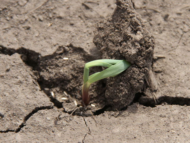 Planting into wet soils or before major rain events can give corn seedlings a rough start, as they can immediately face compacted and crusted soils. (DTN photo by Pamela Smith)