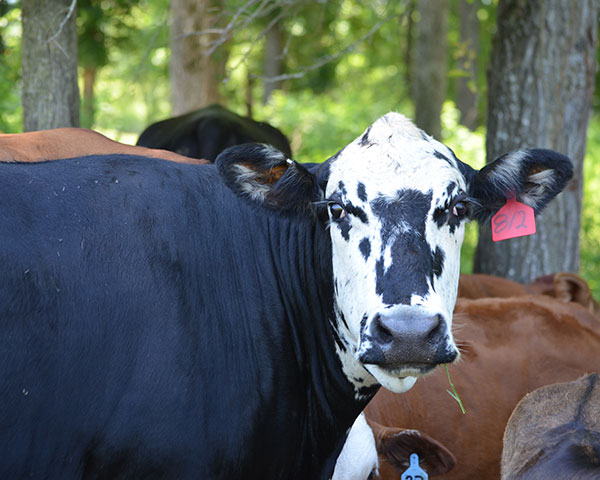Cows, with a viable pregnancy, will still sometimes go into heat. Pregnancy check her to be sure of the status.(DTN/Progressive Farmer photo by Becky Mills)
