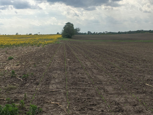 Butterweeds, such as this field in Macon County, Illinois, have gotten an earlier start on crop fields this year as farmers have struggled to find enough good weather to plant their corn. (DTN photo by Pamela Smith)