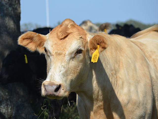 For many producers a cattle mineral with an additive for face flies is one part of an integrated pest management program. (Progressive Farmer photo by Victoria G. Myers)