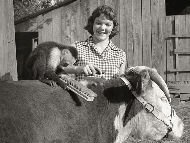 """Ko-Ko� the hired hand helping a 4-Her groom a heifer in 1957, Image by John McKinney"