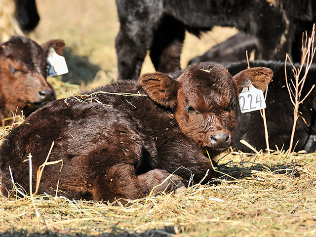 Seeing newborn calves is one of the rewards of being a cattleman. (DTN file photo)