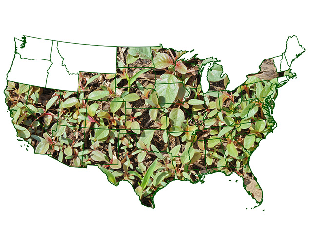 Palmer amaranth distribution in the continental U.S. Image by Andrew Kniss