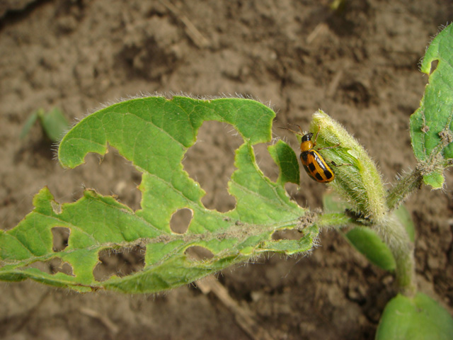 Bean leaf beetles may be among the insect pests waiting when late-planted soybean fields emerge this June. Soybean aphids and the soybean gall midge have also been spotted. (DTN photo by Pamela Smith)