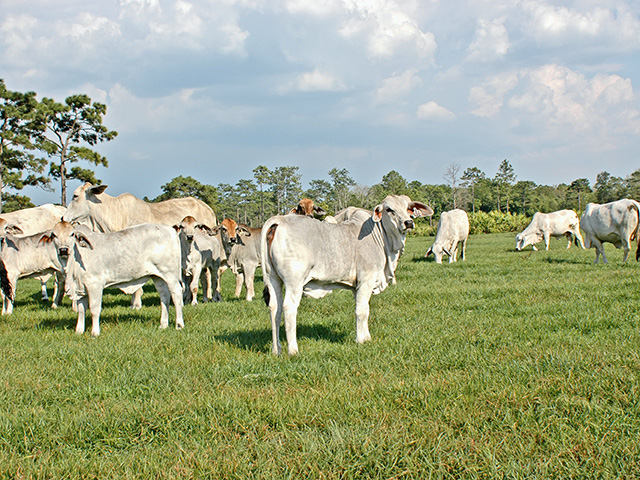 Genetics from Brahman cattle could help alter types and amounts of fat found in beef, Image by Becky Mills