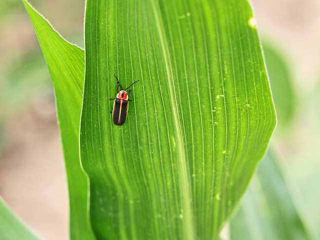 Most people don't recognize fireflies by day as they hang out waiting for nightfall to remind us to go check our crops for destructive pests, Image by Pamela Smith