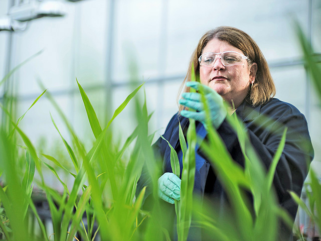 Bayer's Jennifer Riggs checks how corn responds to a seed treatment with an enzyme that increases microbial activity around the root, Image by Charles L. Harris / Bayer Ag