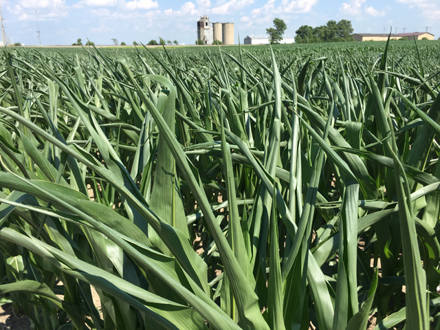 These corn leaves rolling in central Illinois this week are showing the effects of the wet, challenging planting season of 2019. (DTN photo by Pamela Smith)