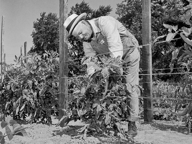 A farmer works his tomato garden in Arkansas in 1958, Image by John McKinney