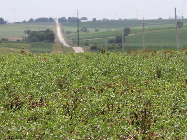 A soybean field southwest of Casey, Iowa was recently sprayed with herbicide to kill weeds. Only about 60% of soybean crops in Iowa are rated good to excellent. (DTN photo by Elaine Shein)