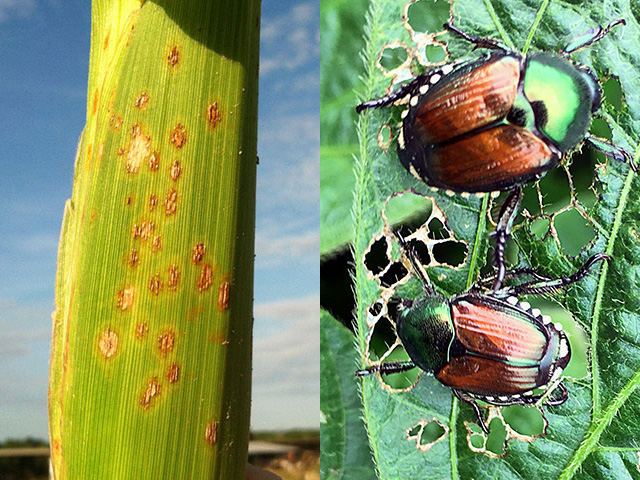 Southern corn rust, on the left, has moved into some Midwest states this week. Japanese beetles, on the right, have been active for weeks in both corn and soybean fields. (Photos courtesy Bob Kemerait, UGA, and DTN's Pamela Smith)