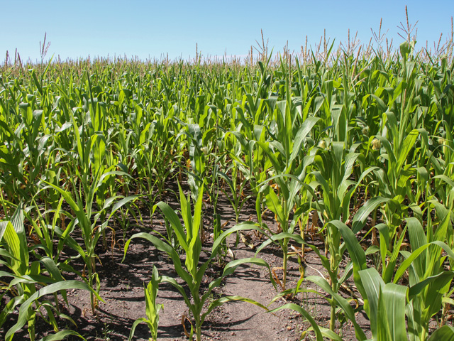 Minnesota corn rates 57% good to excellent, but development is very uneven. (DTN photo by Elaine Shein)