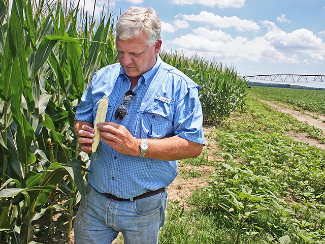 Perry Galloway, of Gregory, Arkansas, counts ear rows and kernels. (Progressive Farmer image by David Bennett)
