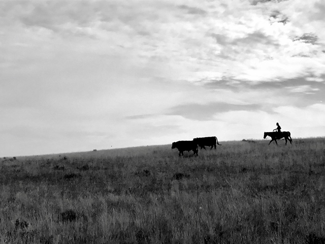 Pulling bulls from summer pasture in Red Lodge, Montana. (DTN photo by ShayLe Stewart)