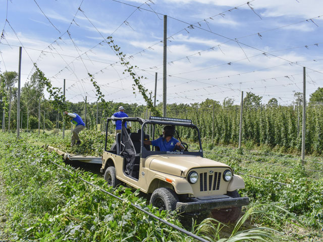 The Roxor can tow up to 3,490 pounds and is used for various harvesting work at the Top Hops Farm in Goodrich, Michigan. Here, Sean and Mark Trowbridge, owners of the farm, pull down hops missed by their harvest wagon. (Progressive Farmer photo by Chris Hill)