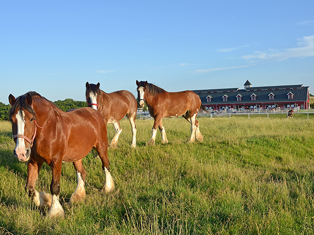 "Clydesdales enjoy their ""heavenly home"" at Warm Springs Ranch, in Boonville, Missouri. (Progressive Farmer image by Jim Patrico)"