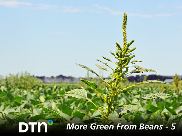 Since some herbicide-resistant weeds, such as waterhemp, can survive several different herbicide modes of action, farmers are searching other ways to keep their fields clean. (DTN/Progressive Farmer photo by Emily Unglesbee)