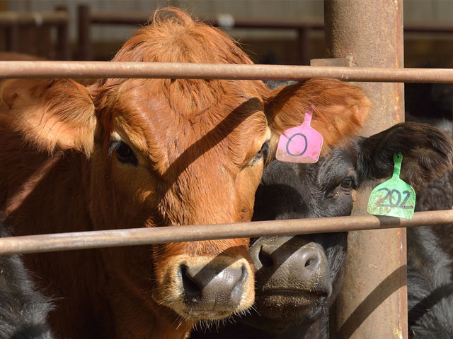 "Low protein levels in the blood can lead to a condition known as ""bottle jaw"" or ""brisket edema."" (DTN/Progressive Farmer image by Jim Patrico)"