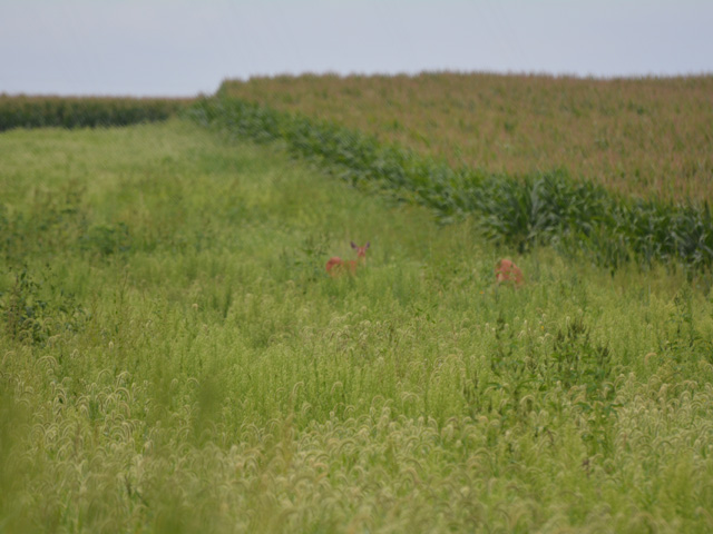 Prairie strips, like this one on Lee Tesdell's farm near Slater, Iowa, in row-crop fields reduce soil erosion, nutrient loss and provide excellent wildlife habitat. (DTN photo by Matthew Wilde)